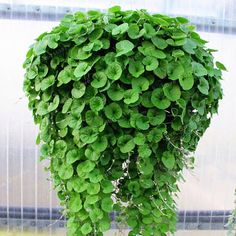Dichondra Repens Seeds, (Emerald Falls) will cascade about 3 feet from your baskets, windowboxes, or other containers Perennial ! is part of Plants Dichondra (Dichondra Repens Emerald Falls) Star -