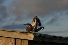 Musk Ox Skull on a Shed by jordan_in_alaska - Taken in Toksook Bay http://www.flickr.com/photos/8360320@N03/3007619192