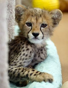 One of the 4 new Cheetah Cubs from the San Diego Wild Animal Park. Taken on August 14, 2009 with my Canon 1DMKIII and handholding a 300 f/2.8 at 1/50 of a second through a wire mesh fence.