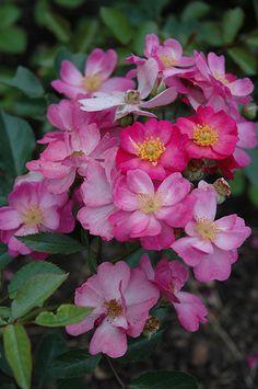 Rosa 'Daydream' (U.S., 1994)