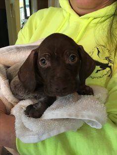 Gsp Puppies, German Shorthaired Pointer, Pointers, Puppy Love, Cute Dogs, Labrador Retriever, Friends, Cats, Animals