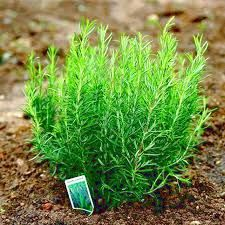 Rosemary is for remembrance.  It's what I chose to use on the grave of my old horse Charlie.  I found myself thanking him every-time I pick some for the kitchen.
