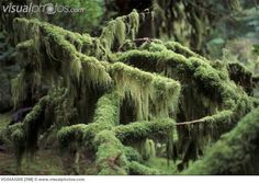 Old growth forest, moss covered tree, Meares Island, British Columbia