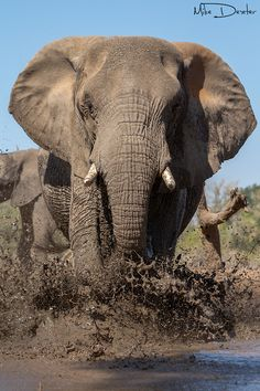 *Coming through.... Bull Elephant (by Mkie Dexter)