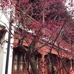 Plum flower blossoming @ Nanjing China