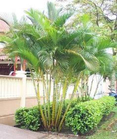 Chrysalidocarpus  Lutescens  ( Golden Cane Palm )
