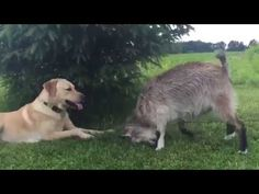 Még, hogy a kecske egy unalmas állat... Sírni fogsz a nevetéstől, ha ezt...