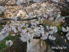 京都 哲学の道 桜 2014/04/01