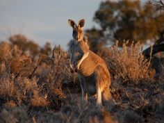 Kangaroos Are Lefties, and That Can Teach Us About Human Handedness | Science | Smithsonian