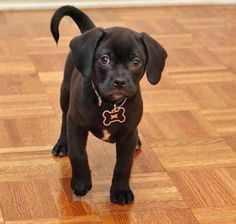 Blaze the Puggle | Puppies | Daily Puppy