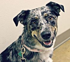 . Mystique .This beautiful girl, who is a one year old Aussie Mix, was found as a stray in Bullard. She was taken in by the family who found her and was immediately provided with love and care. Her foster family tells us that she is so perfect and well behaved. She bonds tightly with humans. She has undergone training at PetSmart and knows basic commands. Mystique is spayed, current on vaccinations, microchipped, and house trained. Mystique has a huge heart