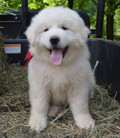 AKC registered all white Great Pyrenees puppies-DOGSNOW.com -PUPPY LITTER-CLICK THE LINK-TENNESSEE....... reminds me of Matri