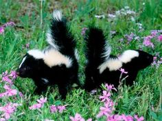 baby skunks smelling the flowers i love baby skunks even if they do stink