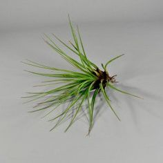 Tillandsia Velickiana - Wholesale Flowers and Supplies