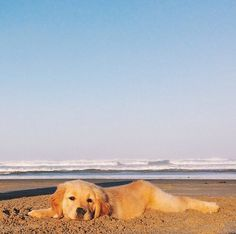 Two of my favorite things, the beach and a Golden Retriever puppy!