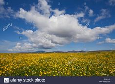 Buttercup (Ranunculus) flowers growing on Machair farmland, South Uist, Outer Hebrides, Scotland, UK, July. 2020VISION Book Plat Stock Photo