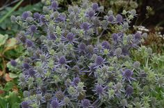 eryngium blue hobbit - Google Search