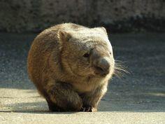 Wombat Fat Animals, Wombat, Extinct, Brown Bear, Cute, Animals, Kawaii