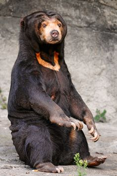 The sun bear is the most aggressive species of bear and also the smallest, they only grow to about 4 or 5 feet long. They get their names from the white patch on their chest which resembles a rising sun. They have the largest teeth in proportion to their bodies compared to any other species of bear as well. The sun bear is known to attack humans without provocation. In their defense they are incredibly protective of their young, they're real mama bears.