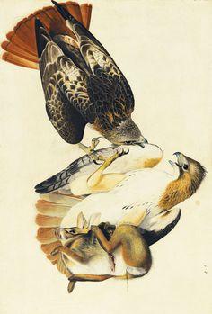 Buyenlarge 'Red Tailed Hawk' by John James Audubon Graphic Art Size: Bird Illustration, Botanical Illustration, Science Illustration, Illustrations, Antique Illustration, Audubon Birds, Birds Of America, Red Tailed Hawk, John James Audubon