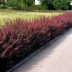 berberis-thunbergii-atropurpurea2