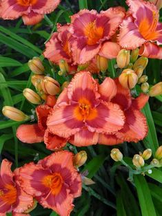 Hemerocallis Holiday Song -- Bluestone Perennials