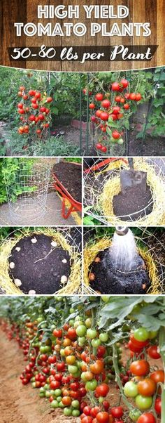 Are All You Need to Grow Lbs of Tomatoes Per Plant in Your Garden! These Tips Are All You Need to Grow Lbs of Tomatoes Per Plant in Your Garden!These Tips Are All You Need to Grow Lbs of Tomatoes Per Plant in Your Garden! Container Gardening, Hydroponic Gardening, Growing Vegetables, Tomato Garden, Tomato, Plants, Urban Garden, Backyard Garden, Vegetable Garden