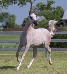 "Aminat Al Hilal ""The One We Trust with the Moon"" Skalah (Al Maraam x RZA Bint Tamiimah) x Honest and True (True Colors x Wafiyah) - 2013 grey SE mare - Lone Tamarak Arabians"