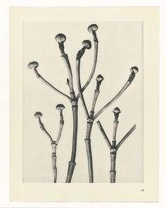 Karl Blossfeldt | Plantstudie, Karl Blossfeldt, Karl Nierendorf, Ernst Wasmuth, 1928 | facher Vergrößerung. Afkomstig uit losbladige uitgave.