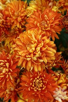 Mexican marigolds - perfect around vegetable gardens to help with pest control