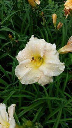 Hemerocallis Lullaby Baby staudengarten daum