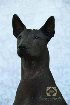 Taboo Bust shot.  A photo taken by Images by Echo a dear friend who does lovely work.  Taboo is a standard Xoloitzcuintli