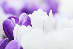 Background, Crocus, Flower, Garden