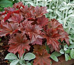 Heuchera Bronze Wave-A great accent for silver-leaved plants, such as Stachys byzantina