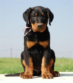 Own a Beauceron.  Super smart,  loyal dog.  Needs lots of discipline and exercise.