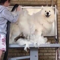 Samoyed, Siblings, Tags, Animals, Instagram, Animales, Animaux, Samoyed Dog, Animal
