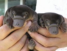 baby platypuses! :)