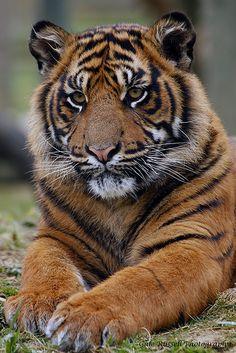 "visualechoess: "" Tiger Cub - by: Sally "" Pet Tiger, Tiger Art, Bengal Tiger, Tiger Cubs, Bear Cubs, Beautiful Cats, Animals Beautiful, Cute Animals, Wild Animals"