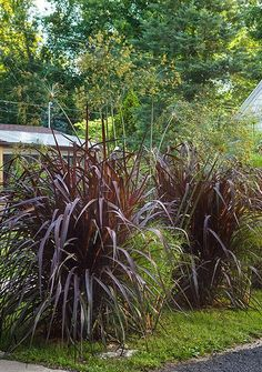 Ornamental grass 39 hameln 39 dwarf fountain grass for Tall purple ornamental grass