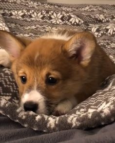 I will not sleep - Cute Corgi Puppy Rule The World - Cute Animal Videos, Funny Animal Pictures, Cute Funny Animals, Cute Baby Animals, Funny Dogs, Animals And Pets, Cute Corgi Puppy, Cute Dogs And Puppies, Pet Dogs