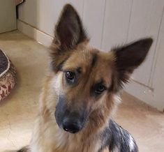 German Shepherd Dog dog for Adoption in Brownsboro, AL. ADN-750912 on PuppyFinder.com Gender: Female. Age: Adult