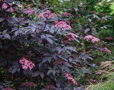 Sambucus nigra 'Eva' Proven Winner. Finely divided dark purple-black leaves and deep pink flowers in early summer. Edible berries in fall.