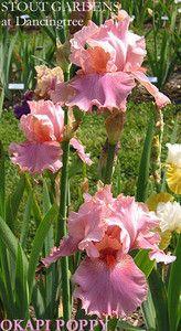 Iris OKAPI POPPY | Stout Gardens at Dancingtree