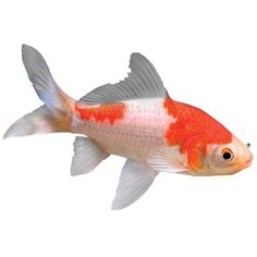 Comet Fancy Gold Fish - Cold Hardy