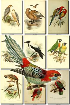 BIRDS-74 Collection of 66 vintage pictures by ArtVintage1800s