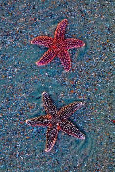 Sea Stars, Folly Beach, SC  © Doug Hickok (Starfish)