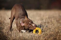 How To Train Pitbull Puppies Not to Bite Rottweiler Training, Rottweiler Puppies, Pitbull Training, Training Your Puppy, Dog Training Tips, Training Videos, Training Online, Dog Minding, Alpha Dog