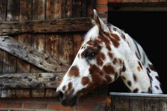 Appaloosa looking out of the stable window