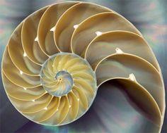 The fibonacci spiral appears in the perfect nautilus shell
