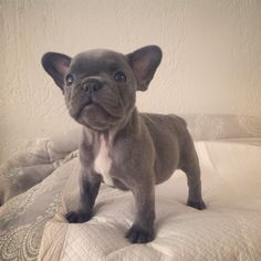 Blue French Bulldog  Bestfriendbulldogs.com